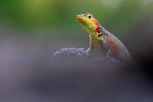 Lava Lizard (Microlophus indefatigabilis) female on a rock. Santa Cruz, Galapagos Islands, Ecuador.  -  Lucas Bustamante