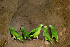 A flock of Mealy Amazon Parrot (Amazona farinosa) eating clay. Yasuni National Park, Orellana, Ecuador.  -  Lucas Bustamante