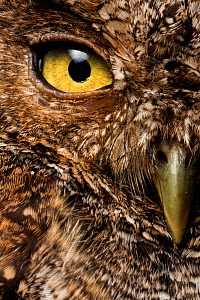Peruvian screech-owl (Megascops roboratus) half face close up portrait, Macara, Loja, Ecuador.  -  Lucas Bustamante