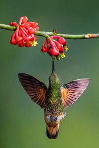 Buff-tailed coronet (Boissonneaua flavescens) drinking nectar from a flower. Mindo, Pichincha, Ecuador.  -  Lucas Bustamante