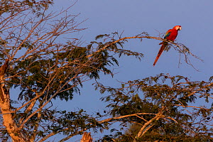 Scarlet Macaw (Ara macao) perched on a branch at sunset. Tambopata National Reserve, Madre de Dios, Peru. - Lucas Bustamante