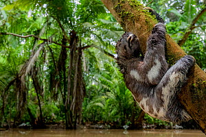 Juvenile of Three-Toed Sloth (Bradypus variegatus) hanging on a tree. Yasuni National Park, Orellana, Ecuador.  -  Lucas Bustamante
