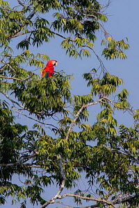 Scarlet macaw (Ara macao) perched on a branch above a claylick. Tambopata National Reserve, Madre de Dios, Peru. - Lucas Bustamante