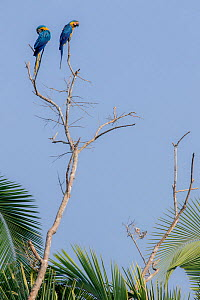 Two Blue and Yellow Macaws (Ara ararauna) perched on a brach above a claylick. Tambopata National Reserve, Madre de Dios, Peru.  -  Lucas Bustamante