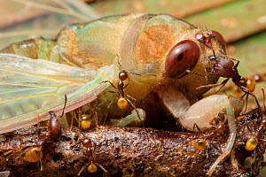 Ants (Formicidae) attacking newly emerged cicada (Cicadacae), Yasuni National Park, Ecuador . Highly commended in the Invertebrates Category of the Wildlife Photographer of the Year Awards (WPOY) Comp... - Lucas Bustamante