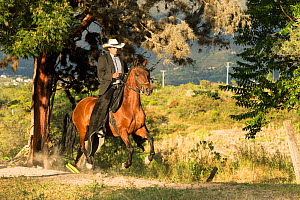 Man riding a Trote Y Galope stallion in canter, Rionegro, Antioquia, Colombia. August.  -  Kristel  Richard
