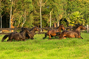 Four Paso Fino mares (Equus ferus caballus) galloping in a field, Rionegro, Antioquia, Colombia. August.  -  Kristel  Richard