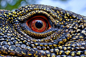 Crocodile monitor (Varanus salvadorii) close up eye, captive, occurs in New Guinea. - Daniel  Heuclin