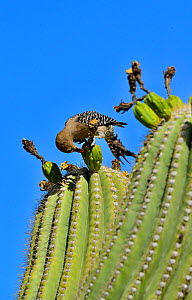 Gila Woodpecker (Melanerpes uropygialis) eating Saguaro fruit (Carnegiea gigantea) Arizona, USA, June. - Daniel  Heuclin
