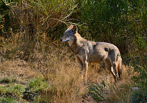 Mongolian wolf (Canis lupus chanco) Captive, occurs in Mongolia, northern and central China, Korea, and the Ussuri region of Russia.  -  Daniel  Heuclin