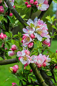 Apple (Malus domestica) blossom variety 'Egremont Russet' in orchard, Cheshire, UK, May  -  Alan  Williams