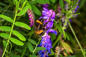 Buff-tailed Bumble Bee (Bombus terrestris) feeding on Tufted Vetch (Vicia cracca) at the edge of a meadow, Cheshire, UK, August  -  Alan  Williams