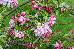 Apple (Malus domestica) blossom variety 'Arthur W. Barnes' in orchard, Cheshire, UK, May  -  Alan  Williams