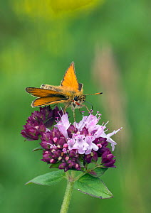 Essex skipper butterfly (Thymelicus lineola) male visiting flower,, Wiltshire, England, UK, July. - David Kjaer