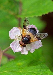 Great pied hoverfly (Volucella pellucens) feeding from bramble flower, Wiltshire, England, UK, July. Bumblebee mimic species. - David Kjaer