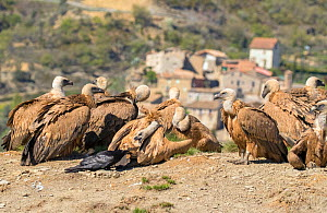 Griffon vulture (Gyps fulvus) flock on hillside with one interacting with Raven (Corvus corax) Pyrenees, Spain, April. - David Kjaer