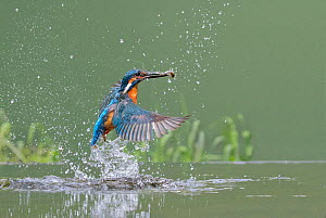 Kingfisher (Alcedo atthis) male taking off from water after diving for fish, Worcestershire, England, UK, July. - David Kjaer