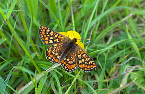 Marsh Fritillary butterfly (Euphydryas aurinia) feeding from Buttercup flower,  Wiltshire, England, UK, May. - David Kjaer