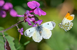 Orange tip butterfly (Anthocharis cardamines) female and male, visiting Honesty flower (Lunaria annua) Wiltshire, England, UK, May.  -  David Kjaer