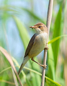 Reed warbler (Acrocephalus scirpaceus) with insect larvae in beak, Greylake RSPB Reserve, Somerset Levels, England, UK, June. - David Kjaer