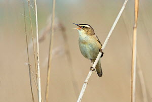 Sedge warbler (Acrocephalus schoenobaenus) singing, Greylake RSPB Reserve, Somerset Levels, England, UK, May. - David Kjaer