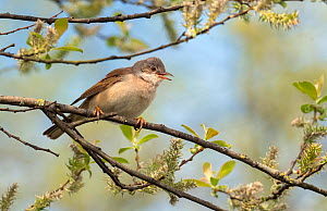 Whitethroat (Sylvia communis) male perched on Willow branch in spring, Wiltshire, England, UK, April.  -  David Kjaer