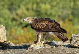 Bonelli's Eagle (Hieraaetus fasciatus) with rabbit prey, Spain, June.  -  David Kjaer