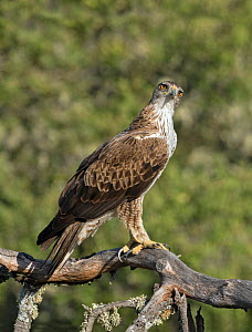 Bonelli's Eagle (Hieraaetus fasciatus) perched, Spain, June.  -  David Kjaer