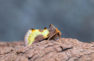 Burnished brass moth (Diachrysia chrysitis) Wiltshire, England, UK, August. - David Kjaer