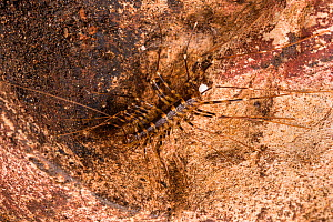 Cave centipede (Thereuopoda longicornis) with sperm pack transferred by a male, Gomantong caves, Borneo, Sabah, Malaysia. - Emanuele Biggi