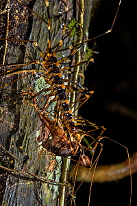 Cave centipede (Thereuopoda longicornis) with a cricket in its jaws, Gunung Mulu National Park, Borneo, Sarawak, Malaysia. - Emanuele Biggi