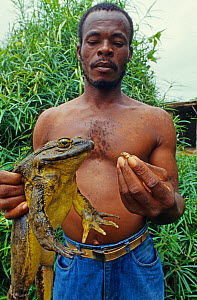Man holding a Goliath frog (Conraua goliath) and Banana frog (Afrixalus sp) Sanaga, Cameroon. Hunted for bushmeat / food  -  Daniel  Heuclin