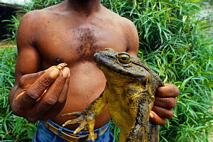Man holding a large Goliath frog (Conraua goliath) and small Banana frog (Afrixalus sp) for size comparison, Sanaga, Cameroon. Hunted for bushmeat / food  -  Daniel  Heuclin