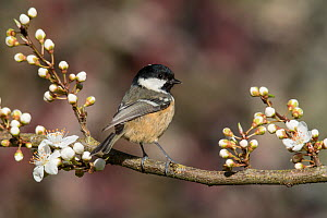 Coal tit (Periparus ater) perched among spring blackthorn blossom, Buckinghamshire, England, UK, April  -  Andy Sands