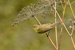Chiffchaff (Phylloscopus collybita) perched on Hogweed stem, Hertfordshire, England, UK, March  -  Andy Sands