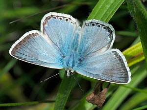 Chalkhill blue butterfly (Polyommatus coridon) male basking with wings open, Hertfordshire, England, UK August - Andy Sands