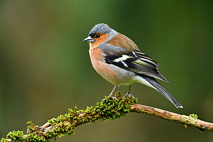 Chaffinch (Fringilla coelebs) male perched on mossy branch, Buckinghamshire, England, UK, February  -  Andy Sands