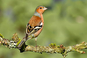Chaffinch (Fringilla coelebs) male perched, Buckinghamshire, England, UK, February  -  Andy Sands