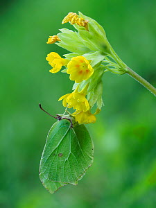 Brimstone butterfly (Goneopteryx rhamni) male roosting on Cowslip (Primula veris) Bedfordshire, England, UK, April  -  Andy Sands