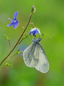 Wood White butterfly (Leptidea sinapis) on Germander Speedwell (Veronica chamaedrys), Surrey, England, UK, May - Focus Stacked  -  Andy Sands