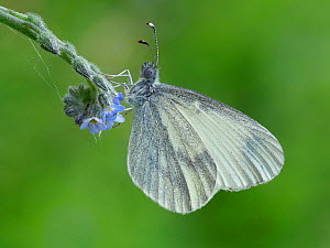 Wood White butterfly (Leptidea sinapis) on Early Forget-me-not (Myosotis ramosissima), Surrey, England, UK, May - Focus Stacked  -  Andy Sands