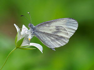 Wood white butterfly (Leptidea sinapis) on Greater stitchwort (Stellaria holostea), Surrey, England, UK, May - Focus Stacked  -  Andy Sands