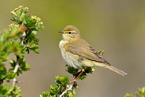 Willow Warbler (Phylloscopus trochilus) Perched on Hawthorn bush, Bedfordshire, England, UK, April - Andy Sands