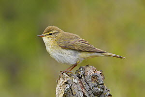 Willow Warbler (Phylloscopus trochilus) Perched on dead tree stump, Bedfordshire, England, UK, April  -  Andy Sands