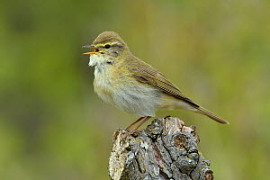 Willow Warbler (Phylloscopus trochilus) singing from dead tree stump, Bedfordshire, England, UK, April  -  Andy Sands