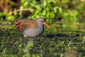 Water Rail (Rallus aquaticus) feeding in watercress bed with water drop on end of beak, Hertfordshire, England, UK, January  -  Andy Sands