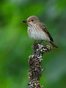 Spotted Flycatcher (Muscicapa striata) perched with Blue bottle fly prey, Upper Teesdale, Co Durham, England, UK, June  -  Andy Sands
