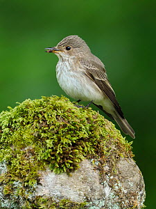 Spotted flycatcher (Muscicapa striata) perched on stone wall, Upper Teesdale, County Durham, England, UK, June  -  Andy Sands