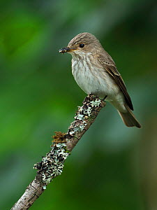 Spotted flycatcher (Muscicapa striata) perched with fly prey, Upper Teesdale, County Durham, England, UK, June  -  Andy Sands