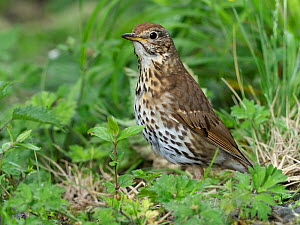 Song Thrush (Turdus philomelos) searching for food on ground, Upper Teesdale, County Durham, England, UK, June - Andy Sands